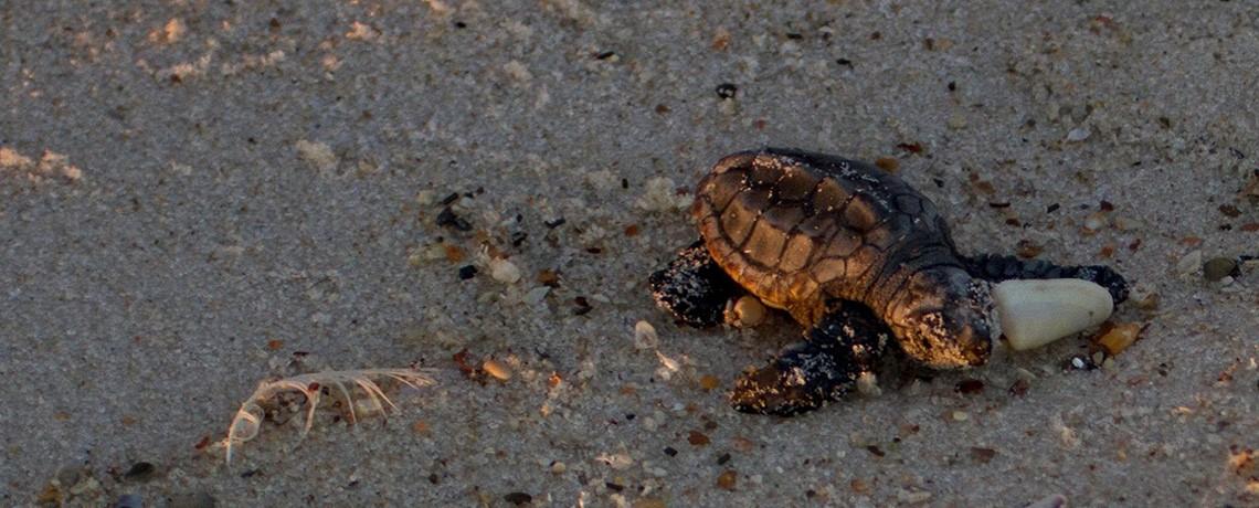 gulf-turtle
