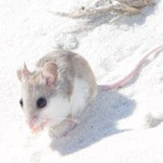 Saving the Smallest of Endangered Species-The Beach Mouse