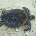 It's Still Sea Turtle Nesting Season – Share the Beach!