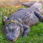 alligator_alley